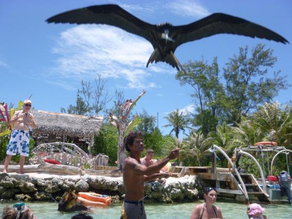 Feeding the Frigate Bird